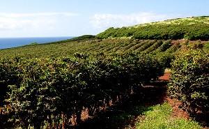 2014_Kauai Coffee Farm