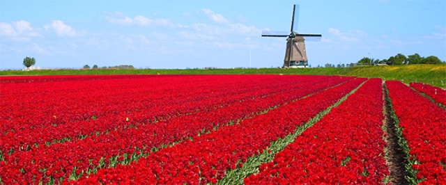 windmill-red-tulips