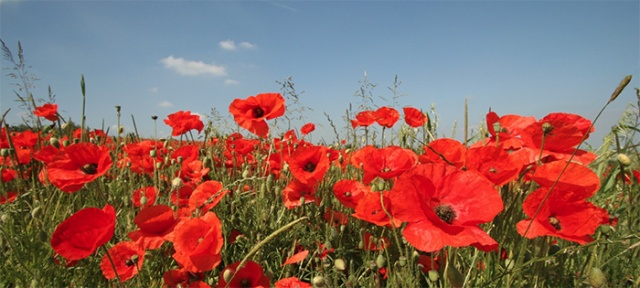 poppies-remember